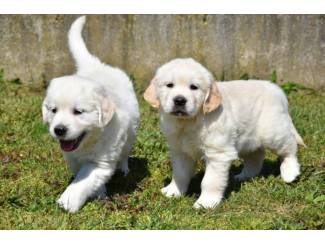 Mooie Golden retriever pups
