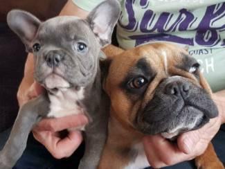 Honden en Puppy's Mooie Blauwe Franse Bulldog pups.
