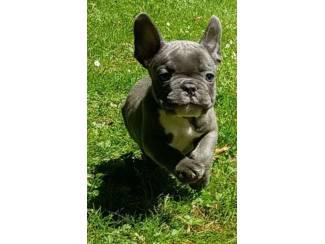 Mooie Blauwe Franse Bulldog pups.