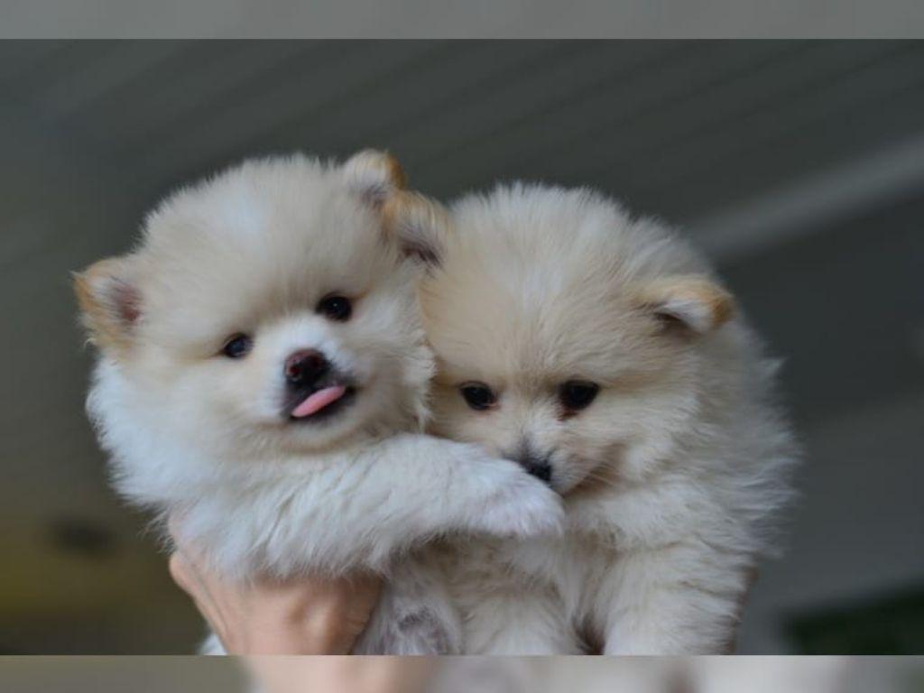 dwerg keeshond/pomeranian pups