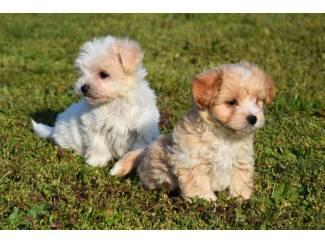 Havanezer pups