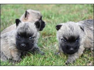 Cairn terrier pups