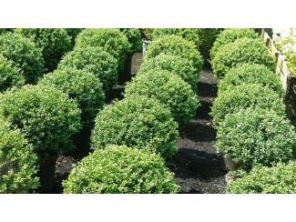 ILEX CRENATA GREEN HEDGE BOLLEN MAAT 40/50 OF 50/60