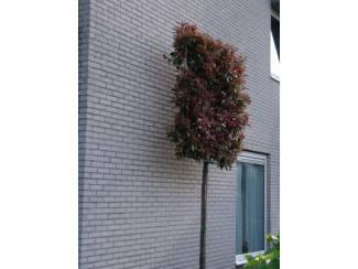 Bloemen en Planten ILEX CRENATA GREEN HEDGE BOLLEN MAAT 40/50 OF 50/60